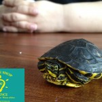 Gelbwangenschildkröte_LittleShopOfScience_1
